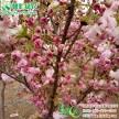 中国红樱花 一叶樱 美国红花樱花 红花重瓣晚樱工程树苗