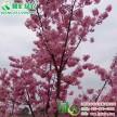 中国红樱花 红粉佳人 粉姑娘 美国红花樱花 重瓣晚樱工程树苗