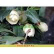 美国大红茶花 黄达茶花 浓香型红花茶花 容器苗茶花工程树苗