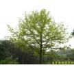 供应南京枫香等多种绿化苗木