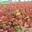 彩叶杨树新品种 炫红杨 中华红叶杨 四季红杨工程用金叶杨树苗