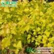 彩叶杨树新品种 欧洲金叶杨 中华红叶杨 四季红杨工程用杨树苗