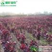 彩叶杨树新品种 四季红杨全红杨 中华红叶杨 工程欧洲金叶杨