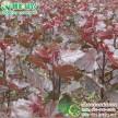 彩叶杨树新品种 中华红叶杨 四季红杨全红杨 工程欧洲金叶杨