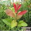 彩叶柳树新品种 红叶柳 红叶腺柳 工程用抗病性强的耐水湿旱柳