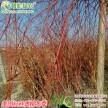 彩叶柳树新品种美国红丝垂柳 工程用抗病性强的耐水湿垂枝柳树苗