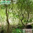 彩叶柳树新品种美国变色龙柳 工程用抗病性强的耐水湿垂枝柳树苗