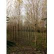 精品园林绿化苗木大量供应