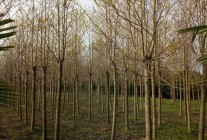 精品苗木大量供应