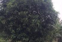 精品茶花球、垂柳、桂花、栾树、樟树大量供应