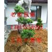 苏州造型景观树、苏州庭院别墅景观绿化工程、花园园林绿化工程