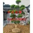 苏州造型枸骨树、鸿运果、无刺构骨、苏州造型、庭院景观果树花木