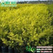 常绿彩叶树新品种黄金香柳 千层金 荷兰香柳 工程色块灌木球苗