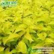 常绿彩叶观赏树金色年华金宝石 全年金黄叶 耐寒耐旱彩叶色块苗