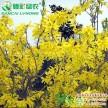常绿彩叶新品种 金边连翘 观叶观花工程用色块灌木苗