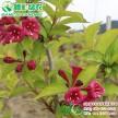 常绿彩叶新品种 金叶锦带 观叶观花工程色块灌木苗