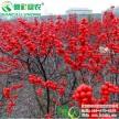 红果切枝观赏新品种树苗 欧美冬青 福来红 冬季观赏耐寒容器苗