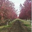 地径10公分北美海棠绚丽海棠青岛国创园林精品绚丽海棠