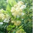 米径13公分 椴树欧洲小叶椴青岛国创园林精品欧洲小叶椴