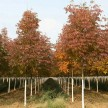 米径8公分 秋紫蜡青岛国创园林美国白蜡秋紫蜡精品苗木