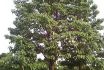 精品楸树供应