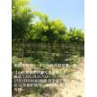 高接金叶槐2年冠,6-8公分苗圃