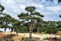 造型景观松、油松、黑松、泰山松、赤松、白皮松、白蜡、对接白蜡 (19)