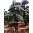 精品供应对接白蜡造型树30到50公分的300棵