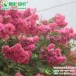 速生红花紫薇 紫薇工程树苗 速生占地用紫薇 美国红叶红花紫薇