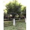 精品苗木供应,国槐、白蜡、榆叶梅、杜仲等