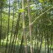 精品斑竹大量供应,浙江安吉前山园艺场