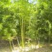 精品红竹大量供应,浙江安吉前山园艺场