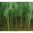 精品旱竹大量供应,浙江安吉前山园艺场
