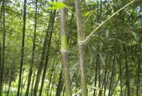 浙江安吉前山园艺场:竹类大量供应 (5)
