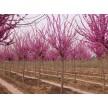 精品紫荆大量供应,山东泰安市隆徕农业开发有限公司