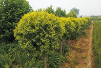 金叶榆、兰花鸢尾、四季玫瑰、水蜡 (6)