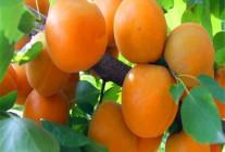 杏树 (3)