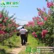 出售速生玫红艳红紫薇小苗江西绿农5公分紫薇树常年出售