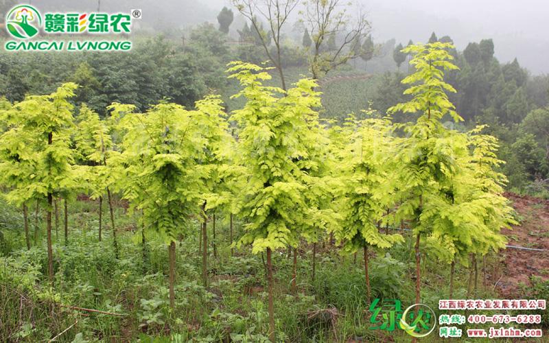 金叶水杉2