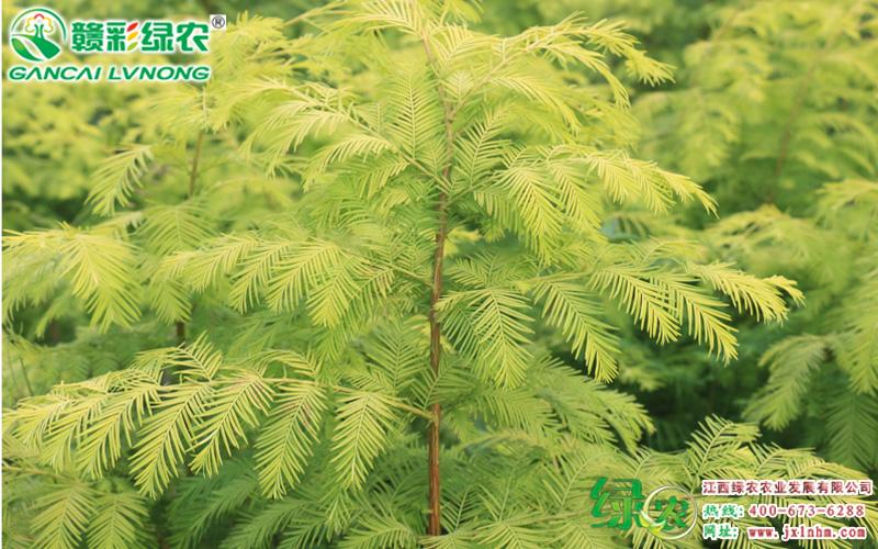金叶水杉3