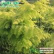 绿农精品金叶水杉小苗 工程大树金叶水杉5-20公分常年供应
