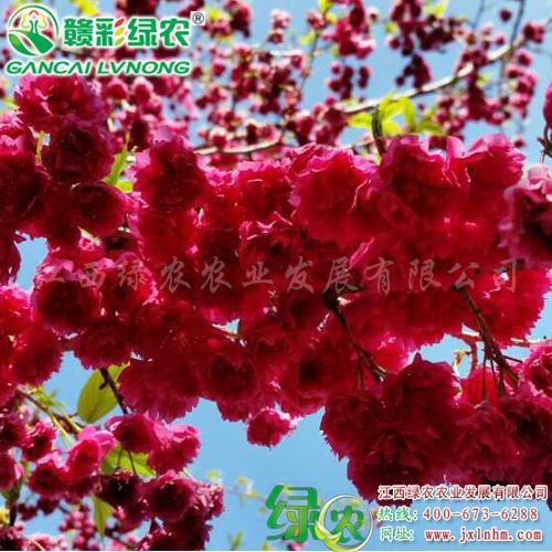 台湾牡丹樱 (1)