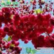 精品台湾牡丹樱小苗大量供应红花樱花工程大树5-10公分