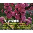 出售新品种彩叶树,北美海棠,李子苗,果树苗,金叶榆