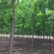 金叶复叶槭8-10公分