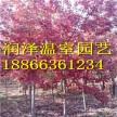 三季红秋日梦幻 15-18公分秋日梦幻红枫 十月光辉红枫苗圃