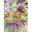 大果栎|欧洲丁香|北美丁香瓷蓝|银红槭秋焰|-润泽温室园艺