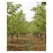 梨树出售 3-15公分梨树 枣树 山楂树