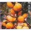 阳丰柿子苗 甜柿子苗 品种柿子苗柿子树