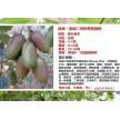 软枣猕猴桃龙城二号两年苗